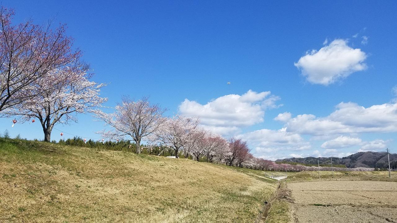 常陸大宮市の桜