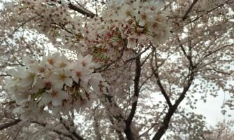 阿見町の桜