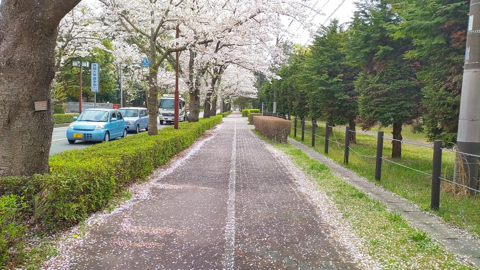 茨大前の桜並木