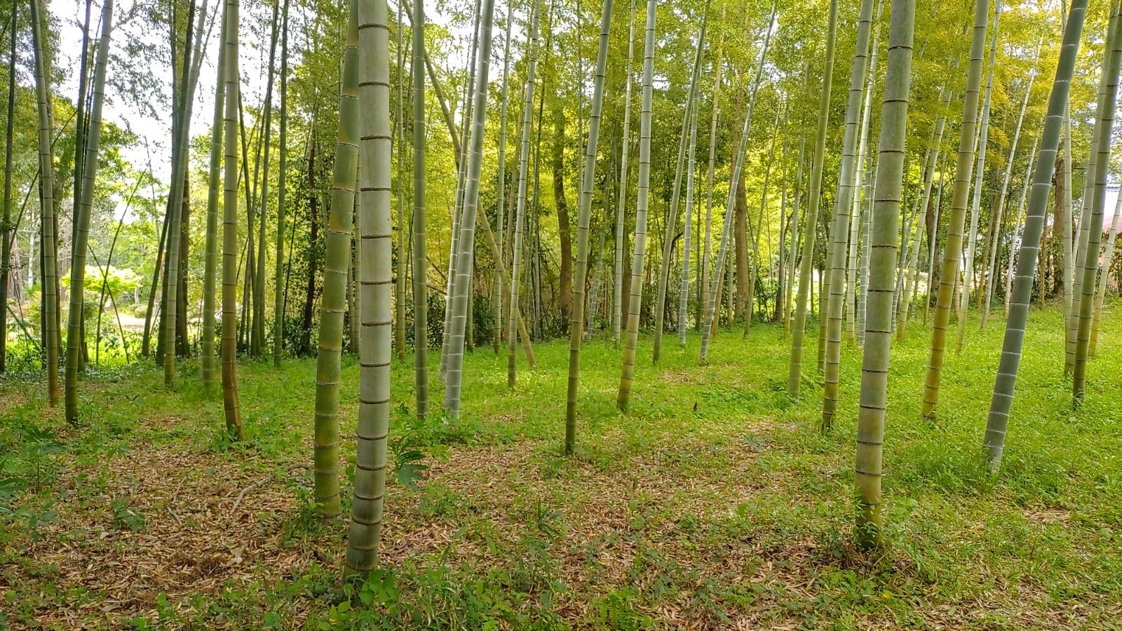阿見町の竹林
